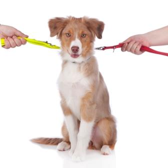 Australian shepherd puppy on a leash